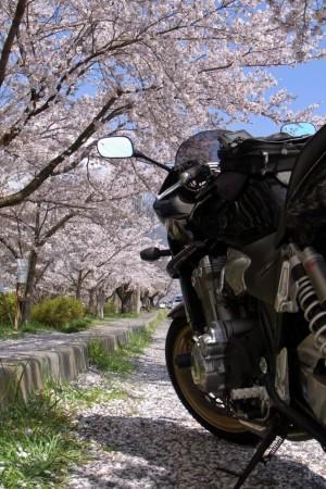 バイコレ・桜